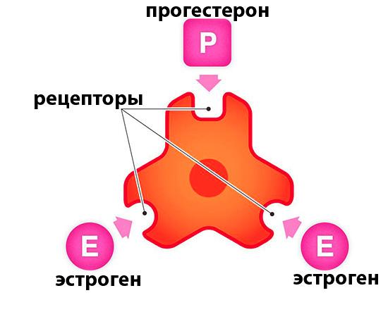 Рецепторы эстрогена и прогестерона