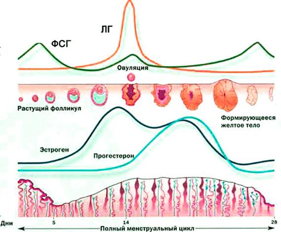 Изменение гормонального фона на протяжении менструального цикла