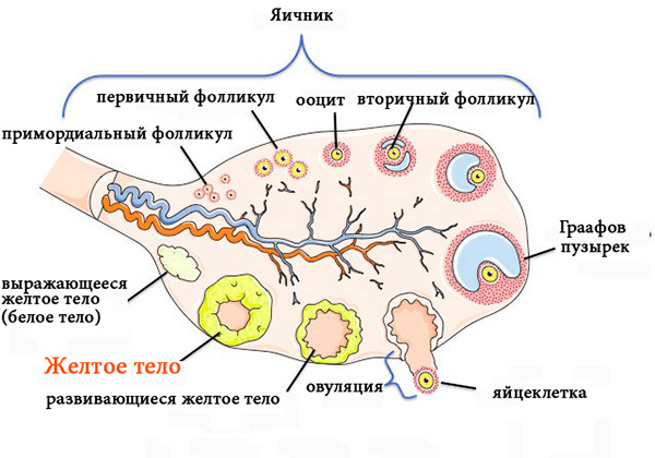 Циклические изменения, происходящие в яичнике
