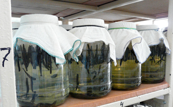 Выращивание пиявок для медицинских целей