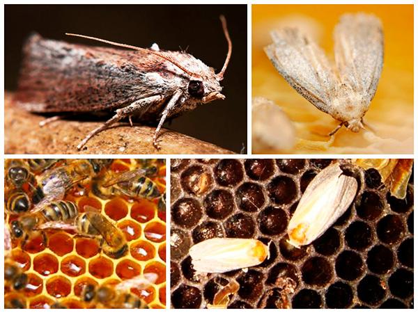 Настойка из личинок пчелиной моли не способна избавить от опухоли