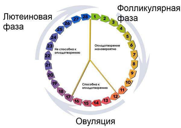 3 фазы менструального цикла