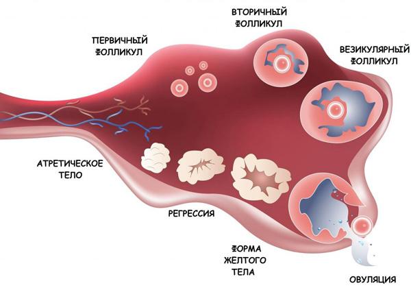 Фолликулярная киста правого яичника при беременности