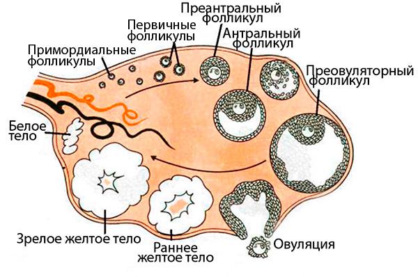 Овуляторный цикл
