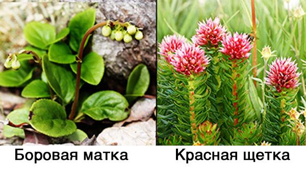 Боровая матка и красная щетка - женские травы
