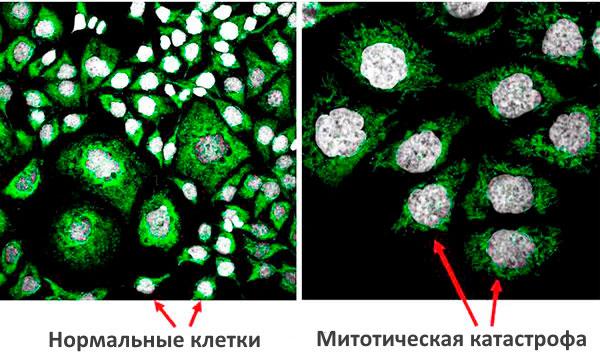 Митотический рост клеток
