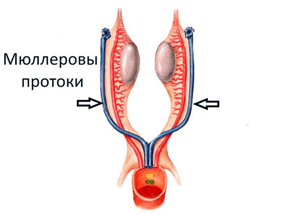 Эмбриональные ткани в Мюллеровых протоках
